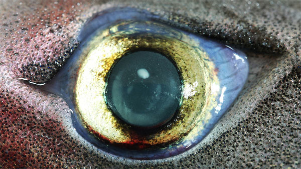 Bí mật của mắt cá mập