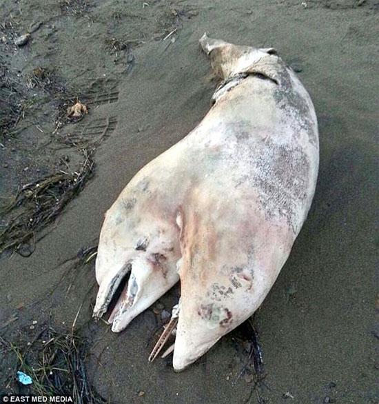 Xác cá heo hai đầu dạt vào bờ biển Thổ Nhĩ Kỳ