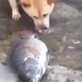 Video: Chó tát nước để cứu sống cá