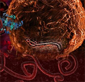 Phát hiện ra cách Ebola vô hiệu hóa hệ thống miễn dịch