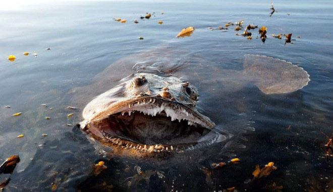 """Cận cảnh những """"quái vật biển"""" còn đáng sợ hơn cả cá mập"""