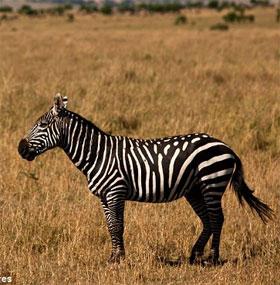 Sự thật ngựa vằn là trắng sọc đen hay đen sọc trắng?