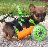 Xe đẩy được in 3D dành cho chú chó bị khuyết tật 2 chân