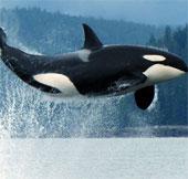 Cá voi sát thủ sẽ có nơi trú ngụ nhân tạo lớn nhất thế giới ở Mỹ