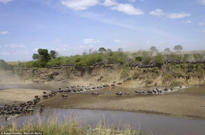 Hàng nghìn linh dương đầu bò vượt sông đầy cá sấu