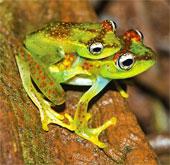 Phát hiện loài ếch cây xinh đẹp