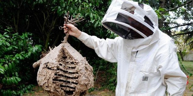 Ong bắp cày châu Á trở thành nỗi sợ của châu Âu