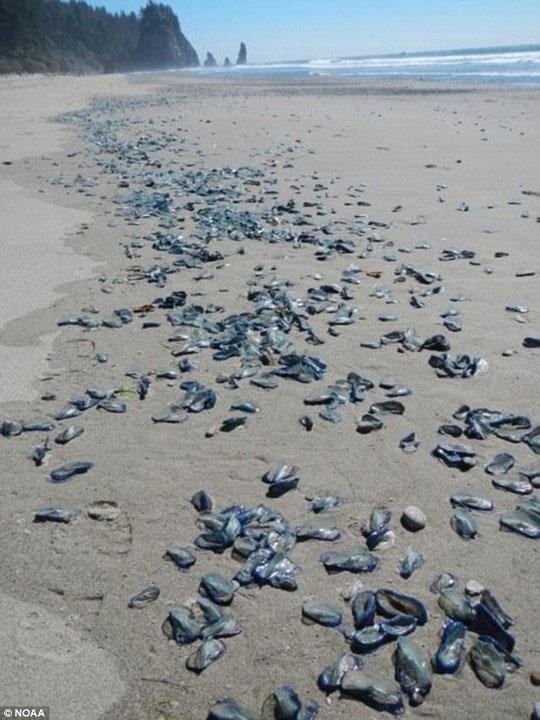 """Hàng tỉ sinh vật giống sứa """"tấn công"""" bờ biển nước Mỹ"""