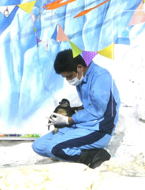 """Chim cánh cụt đầu tiên mang """"quốc tịch"""" Việt Nam"""
