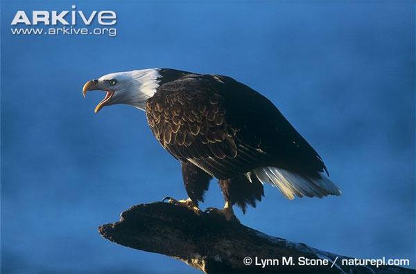 Đại bàng là một loài chim săn mồi cỡ lớn thuộc bộ Ưng