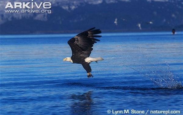 Từ trên cao, đại bàng có thể bổ xuống với tốc độ cực nhanh để tóm gọn và nhanh chóng hạ gục con mồi.