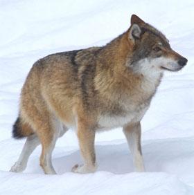 Duy trì nòi giống tương lai từ nghiên cứu sói đồng cỏ