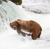 Ảnh đẹp: Gấu nâu bắt cá hồi bơi ngược dòng