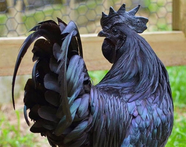 Giống gà quý có màu đen từ trong ra ngoài