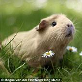"""Chùm ảnh chú chuột lang """"gây sốt"""" vì vẻ đáng yêu"""