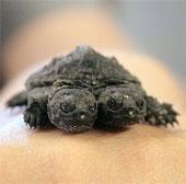 Phát hiện con rùa hai đầu quý hiếm