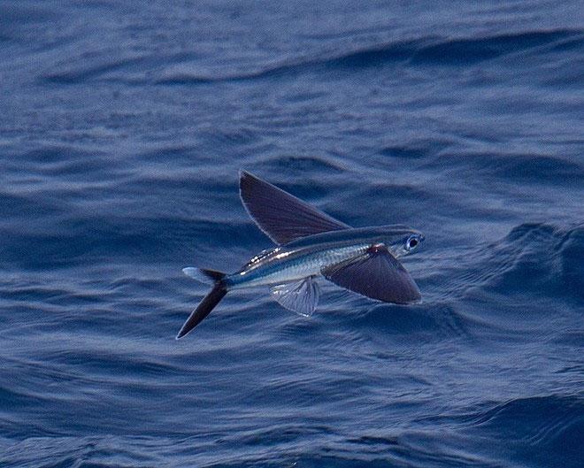 Loài cá bay như chim để tránh kẻ thù