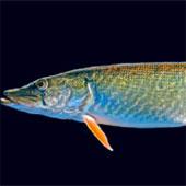 Phát hiện một loài cá mới ở Pháp