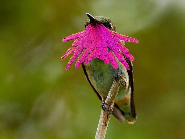 """Ngắm chim ruồi - """"Mỹ nhân"""" trong thế giới loài chim"""