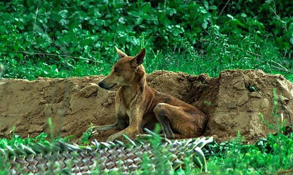 Cảm động với chú chó nhịn ăn nằm bên mộ chủ