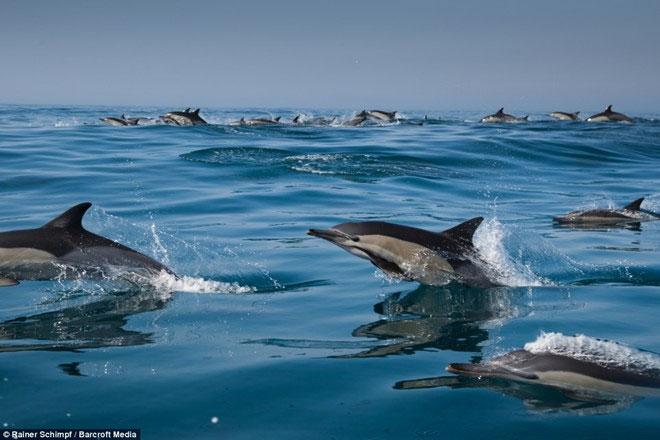 Hàng nghìn con cá heo xuất hiện dọc bờ biển Nam Phi