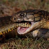 Vì sao rắn hổ mang xẻ thịt nhau lại không trúng độc chết?