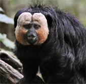 """Phát hiện ra 5 loài """"khỉ bay"""" mới trong thế giới động vật"""