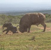 Trâu rừng húc voi con bay vài mét