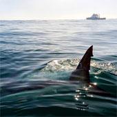 Làm gì khi phát hiện đang bơi cùng cá mập?
