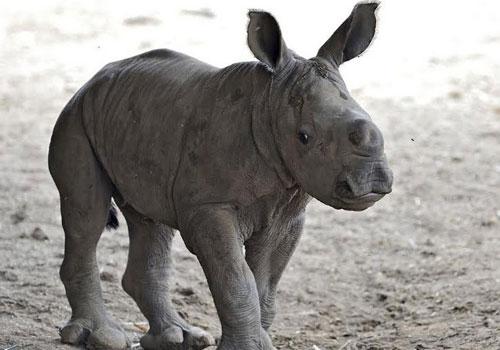 Tê giác cái màu trắng quý hiếm chào đời