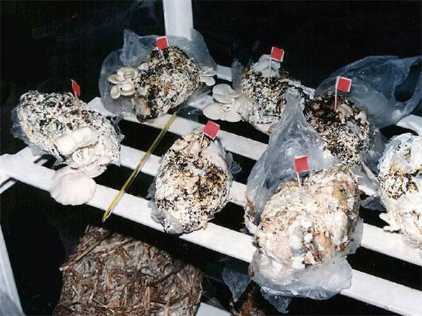 Công nghệ trồng nấm từ bỉm bẩn