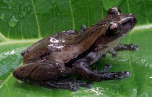 Phát hiện loài ếch cây mới ở Việt Nam