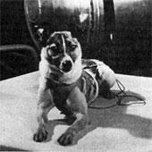 Bí mật của chú chó đầu tiên bay vào vũ trụ