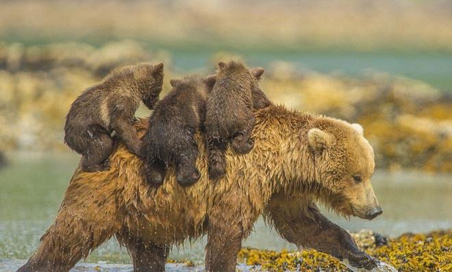 Chùm ảnh: Gấu mẹ cõng gấu con băng qua suối