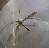 """Muỗi """"khủng"""" ở Quảng Bình thực chất là một loài ruồi?"""