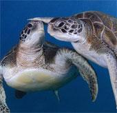 Chùm ảnh: Thợ lặn tạo dáng với rùa xanh khổng lồ
