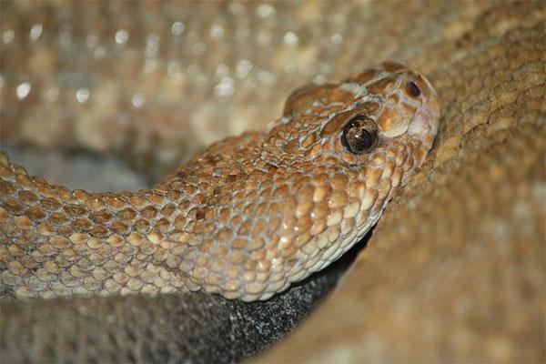 10 loài rắn hiếm nhất hành tinh sắp tuyệt chủng