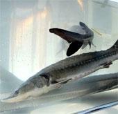 Cá tầm hoang dã có nguy cơ tuyệt chủng ở Trung Quốc