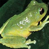 Phát hiện loài ếch cây mới tại Tây Nguyên