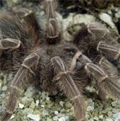 Sau sên, đến lượt nhện khổng lồ tấn công nước Anh