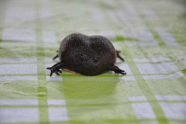 Ếch Black Rain - Loài ếch có thân hình và vẻ mặt ghê sợ