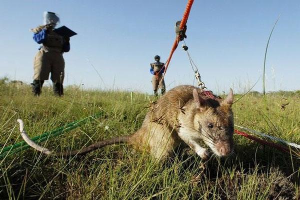 Châu Phi sử dụng chuột để rà phá bom mìn