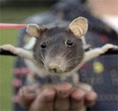 Teen Hà Lan biến chuột cảnh thành máy bay