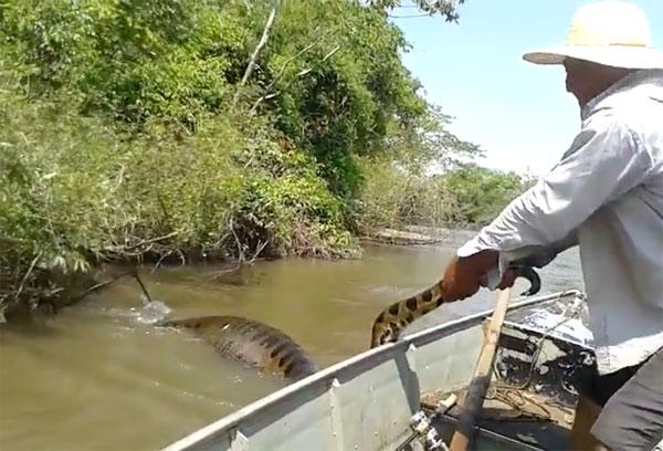 Video: Tóm đuôi trăn Anacoda trên sông