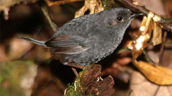 Phát hiện loài chim mới ở Brazil