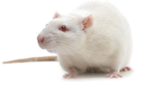 Vì sao nhà khoa học thường dùng chuột làm thí nghiệm?