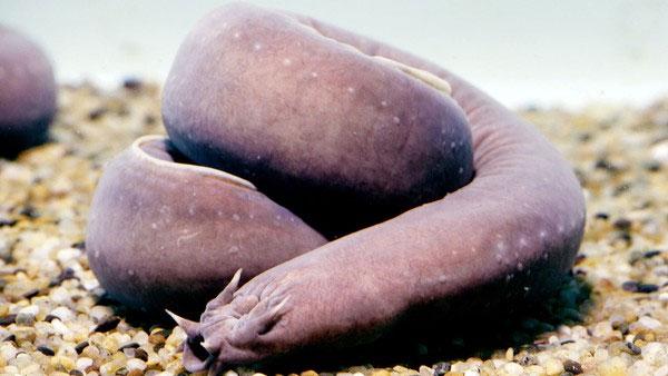 Nghiên cứu chế tạo ra sợi từ chất nhầy của cá