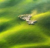 Bộ ảnh đàn cừu tuyệt đẹp từ trên cao