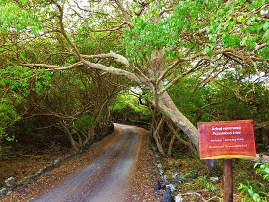 """Chưa có loài cây nào thay thế được vị trí đứng đầu về khả năng """"hủy diệt"""" của cây Manchineel."""