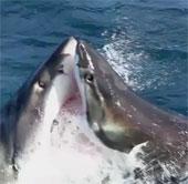Video: Cá mập ăn thịt đồng loại